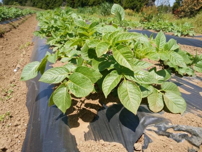 ビニールマルチを使った栽培