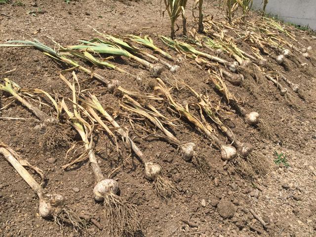ニンニク収穫直後の天日乾燥