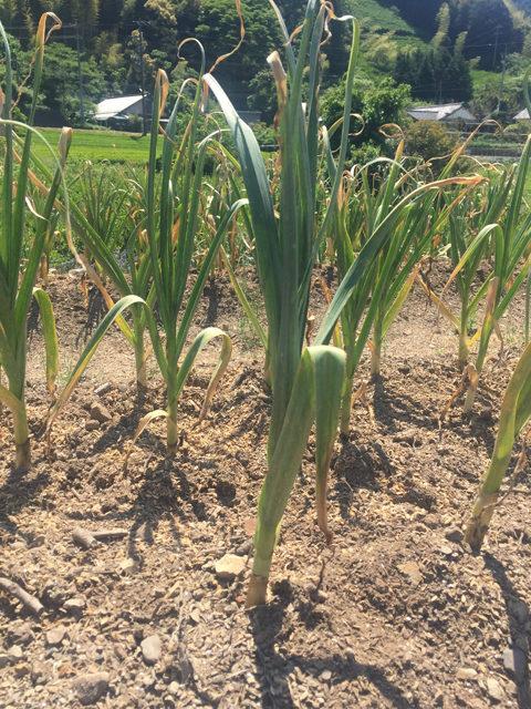 ニンニクの収穫時期を地上部で確認