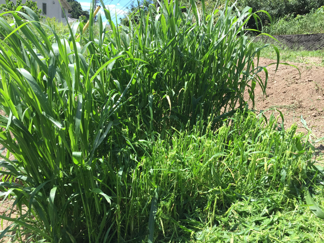 緑肥の粉砕