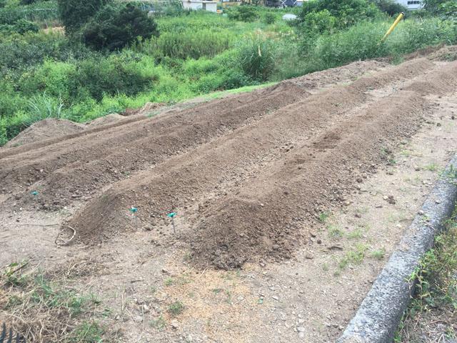 ニンニクの畝。1条植え