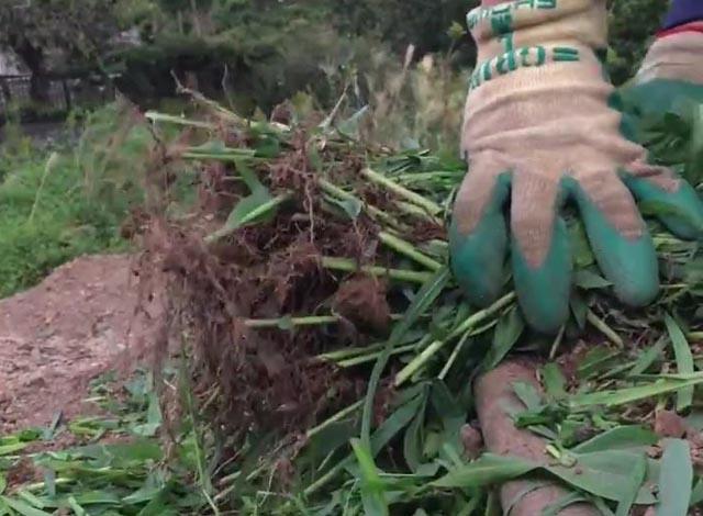 抜いた緑肥を束にして持つ