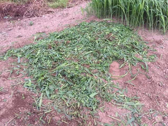 切り刻んだ緑肥