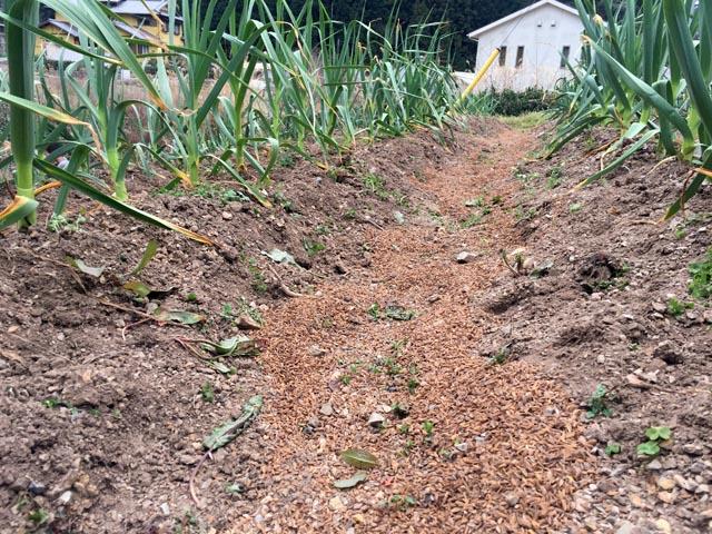 畝間に乳酸菌もみがらぼかしを散布