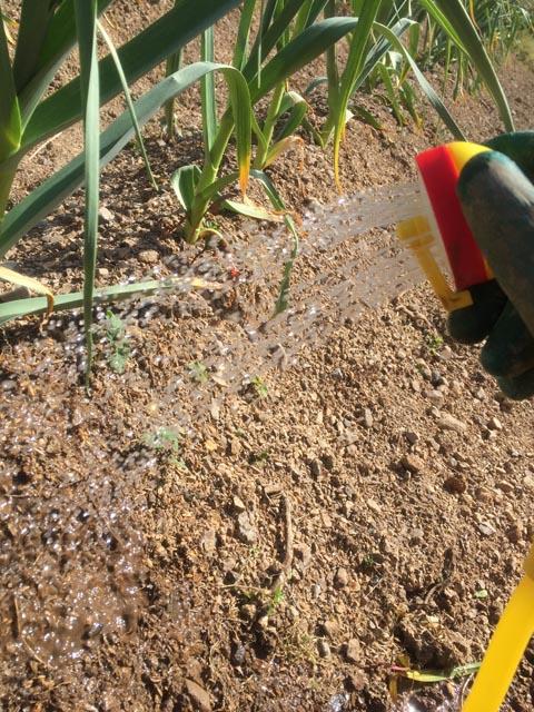 アウトドアポンプで、ニンニクに土壌灌水