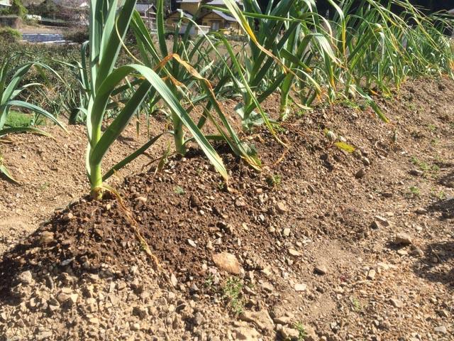 ニンニクの土壌灌水・完了