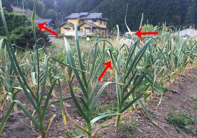 伸びてきた暖地系ニンニクの花茎(ニンニクの芽)