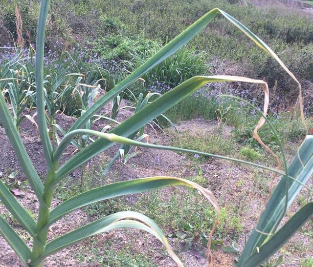 伸びてきたニンニクの芽(花茎)