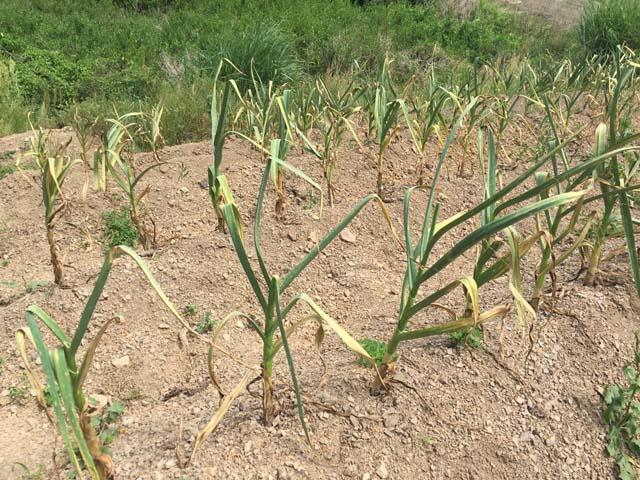 暖地系ニンニクの収穫目安