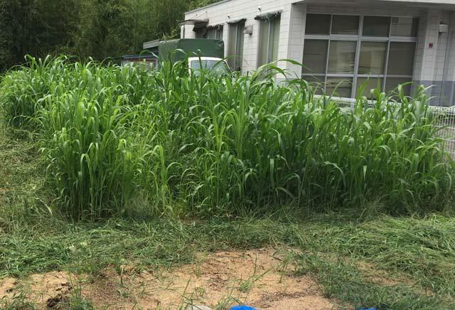 緑肥が育ってきた畑2